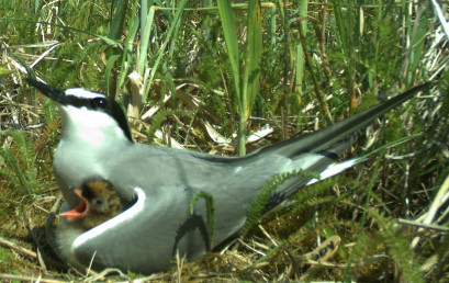 Aleutian tern with young as shown by a nest camera.