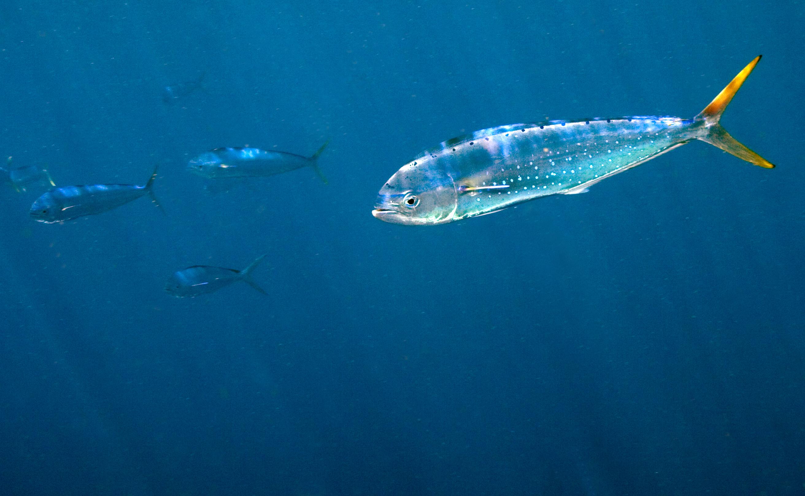 Dolphin Fish - E. D'Alessandro