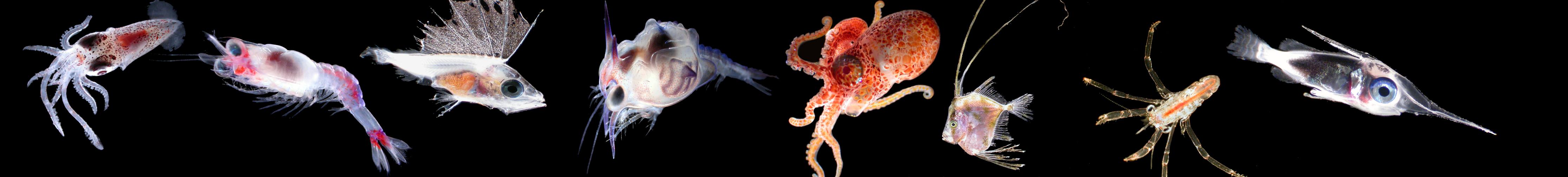larval fish collage
