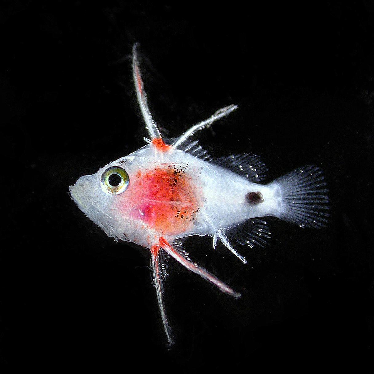 epinephelini - grouper