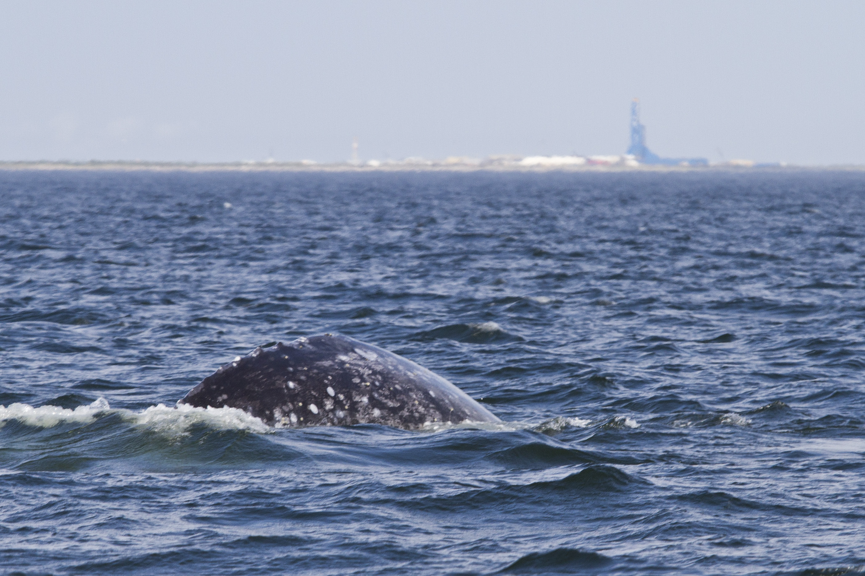 Grey whale with oil rig in background