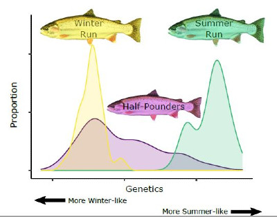 Genetic chart of half-pounder steelhead
