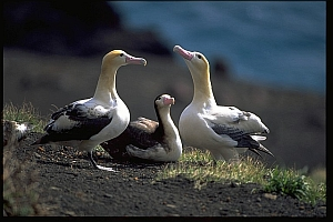 Short-tailed albatrosses
