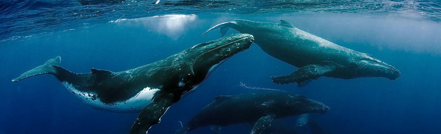 three submerged humpback whales