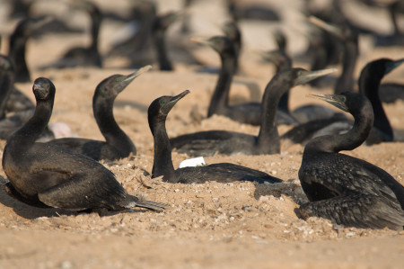 A group of Socotra cormorants nesting in the sand.