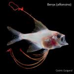 Beryx larva