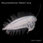 Pleuronectiformes (flatfish)