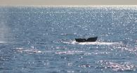 Gray Whale surfacing