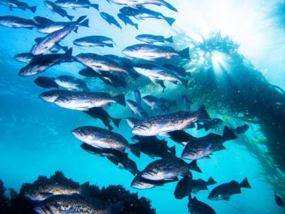 A school of blue rockfish swim near a stand of kelp. The sun shines through the water