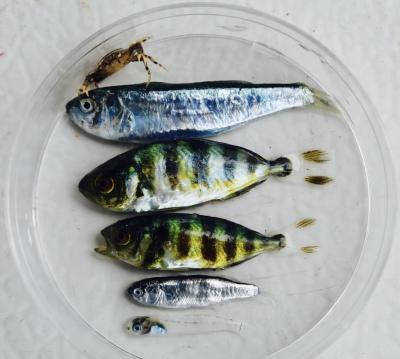 small fish in petri dish