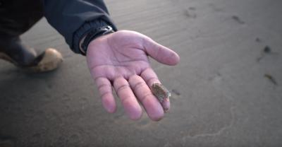 A tiny obaque mole crab about the size of a penny is held in a person's hand at the beach.
