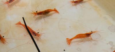 Live shrimp in tank