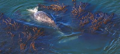 Arial image of a gray whale breaching the water near kelp beds.