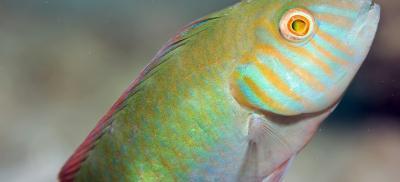 Green razor fish