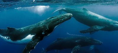 three submerged humpback whales