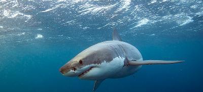 White Shark swimming in ocean.