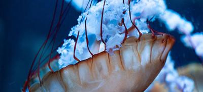 Underwater view of a jellyfish. Its thick, white tentacles are floating out from its body.