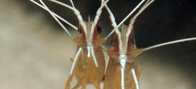 scarlet_striped_cleaning_shrimp_lysmata_grabhami_E-D'Alessandro