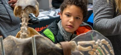 A young boy looks closely at the skelton of a sealion.