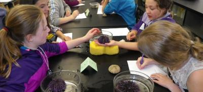 Middle school students work together in a lab and look into microscopes during a lesson on urchins.