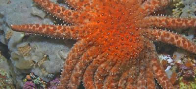 An underwater view of a sunflower sea star resting on a rock. It is bright orange with 22 arms.