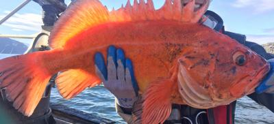 yelloweye rockfish held in fisherman's hand