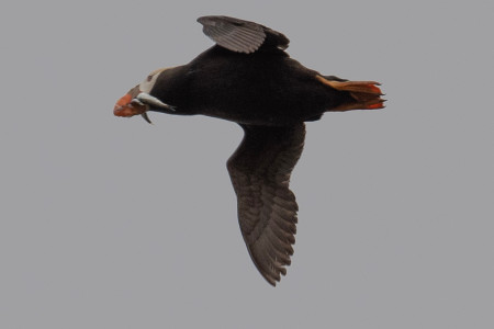 Tufted puffin in flight with fish in its beak