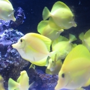 These yellow tangs came from Hawaii
