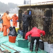Researchers remove non-native species from the Japanese dock.