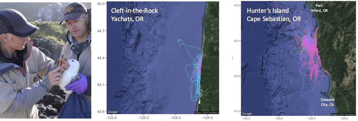 western gull tracking