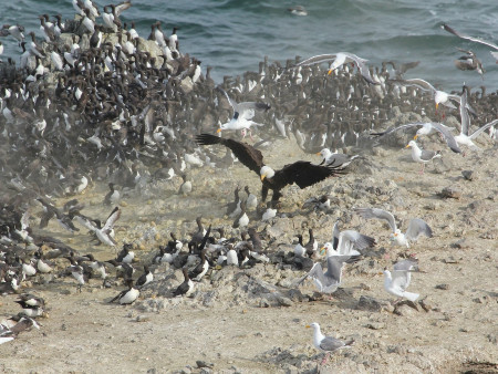 Bald eagle attacking a seabird colony.