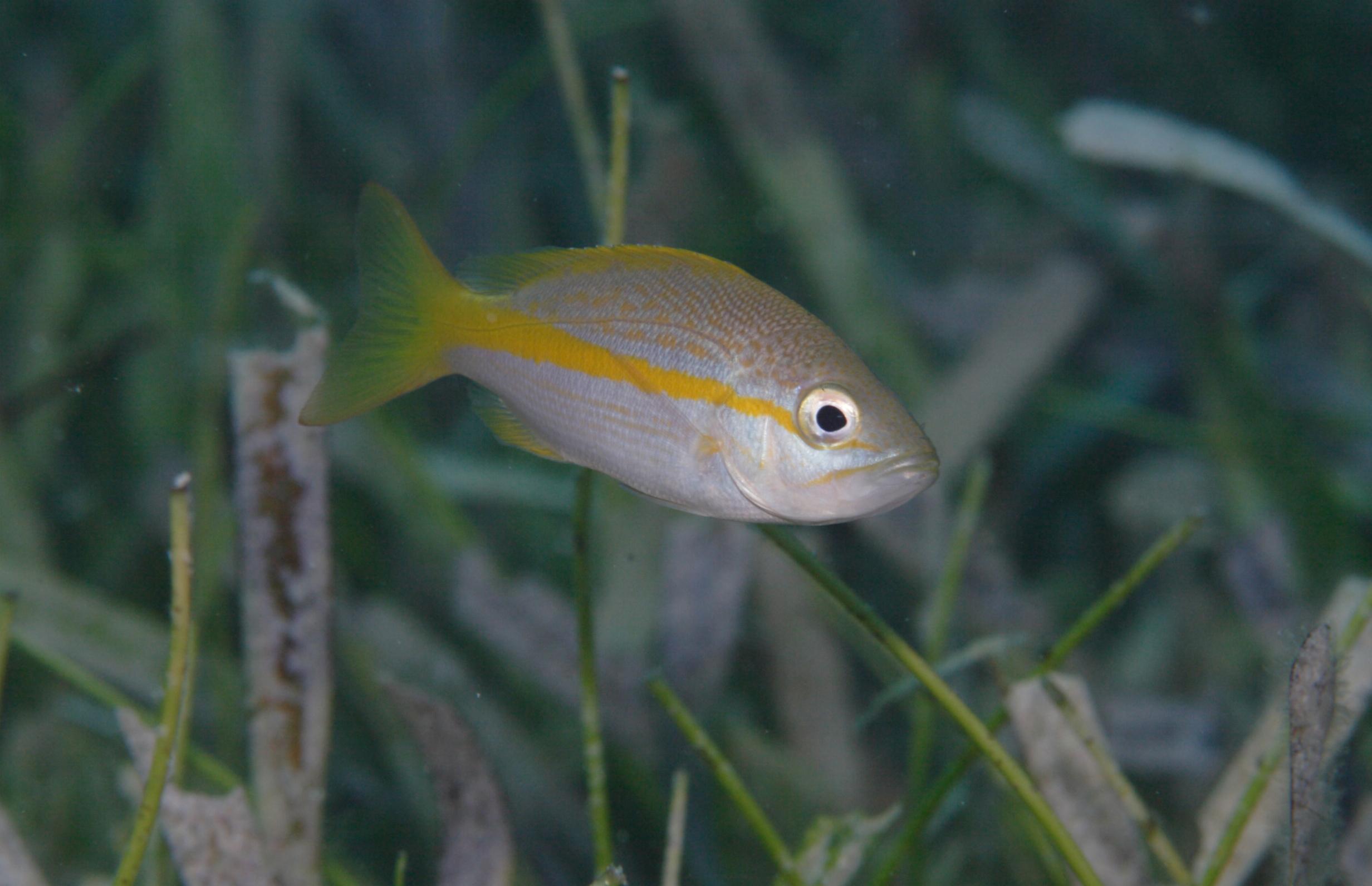 yellowtail fish in seagrass